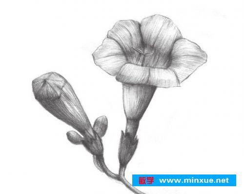 一,素描凌霄花的绘画步骤    1,  首先观察花瓣的外形,然后画出